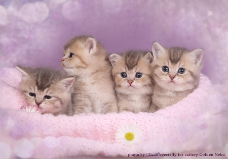 Newborn kittens of british shorthair in Blue Golden color