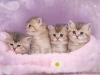 Newborn kittens of british shorthair in Blue Golden color
