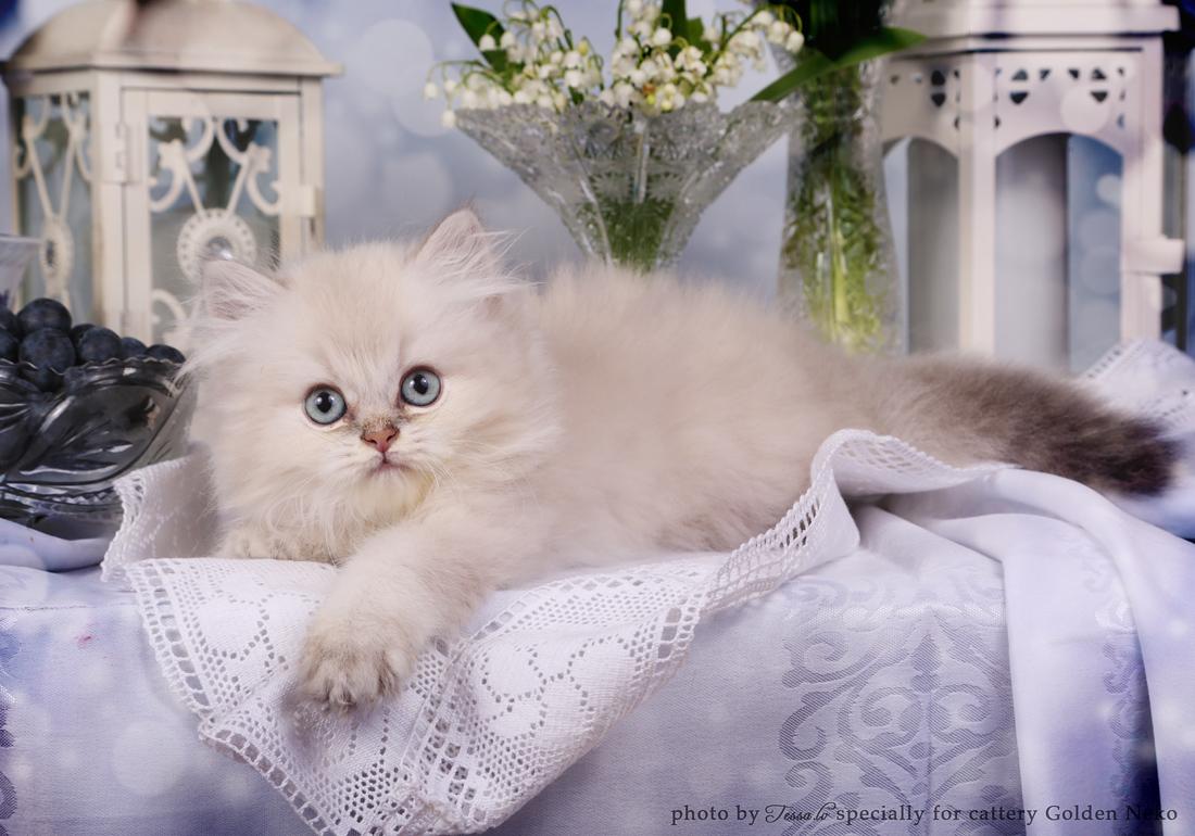 Golden Neko Cattery british shorthair cats from Estonia