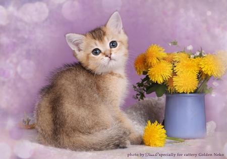 Golde British Shorthair Kittenrs from Golden Neko cattery