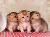 Litter from GoldenNeko cattery
