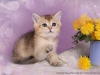 Golde British Shorthair Kittenrs from Golden Neko cattery