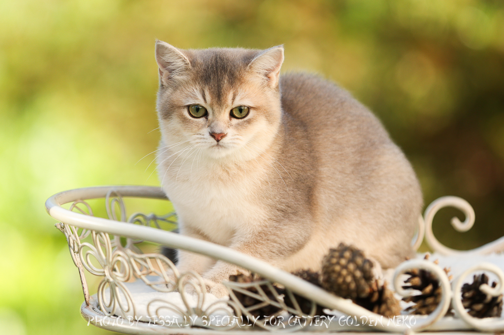 Golden Neko Cattery british shorthair cats from Estonia - Part 2