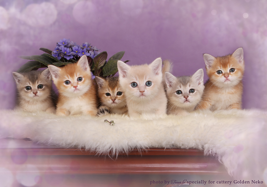 Golden Neko Cattery british shorthair cats from Estonia - Part 2