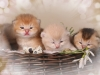 happy esaster cats by golden neko cattery