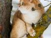 Everest Golden Chinchilla Goldenneko