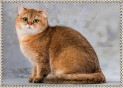 Zolda Golden Lorel Cat