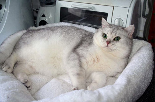 Silver shaded cat