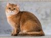 Zolda Golden Lorel Cat