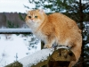 Golden Neko Cattery Tomcat:)