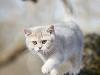 Blue Golden Kitten in Golden Neko cattery!