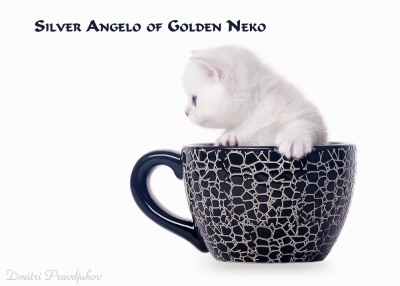 Silver Angelo of Golden Neko
