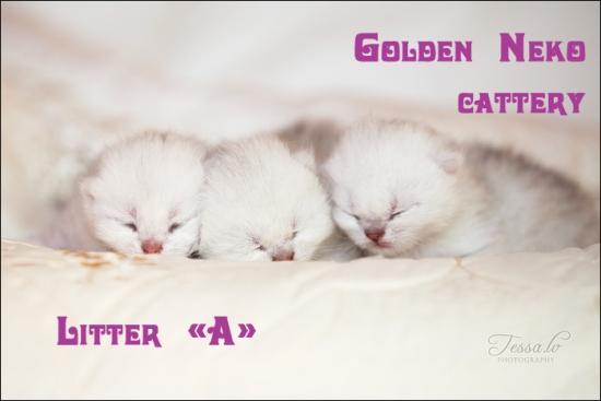 Litter A of Golden Neko cattery
