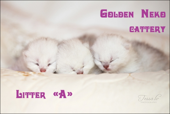 Litter A of Golden Neko cattery