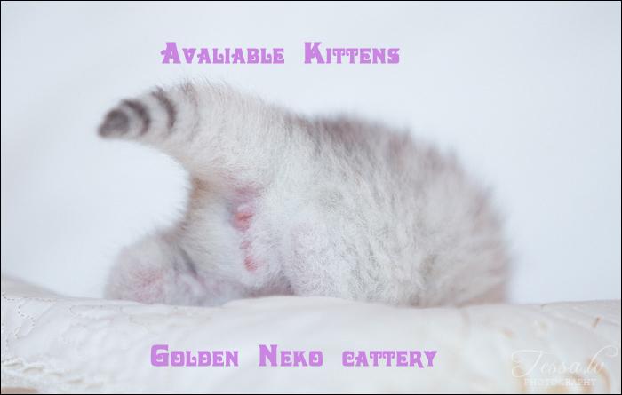 Silver Armani of Golden Neko