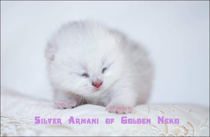 Silver Armani of Golden Neko (LITTER A: 30.07.2012)