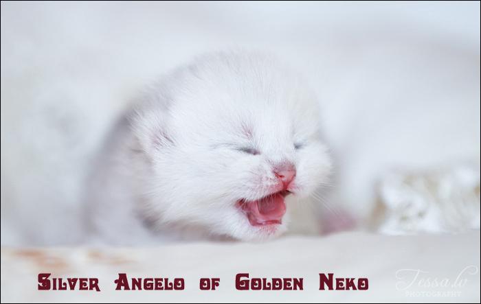 Silver Angelo of Golden Neko ( Litter A - 30.07.2012)