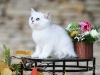 Silver Armani of Golden Neko ( Litter A - 30.07.2012)