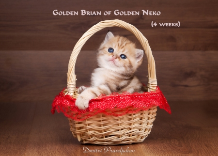 Golden Brian of Golden Neko