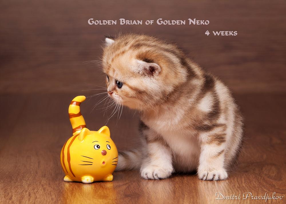 Golden Brian of Golden Neko