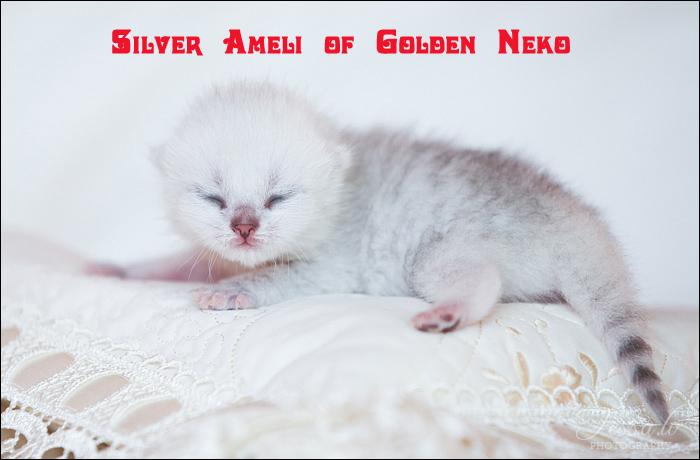 Silver Ameli of Golden Neko ( Litter A - 30.07.2012)