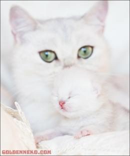 golden-neko-kittens