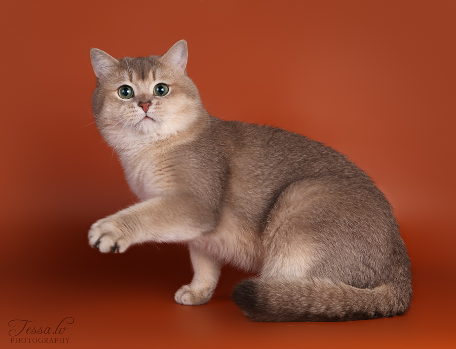 Blue Golden Shaded Ticked ESMARALDUS STANIS kittens and adults