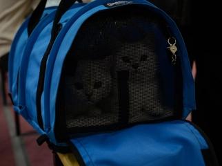 Golden Neko cats on WCF cat sho